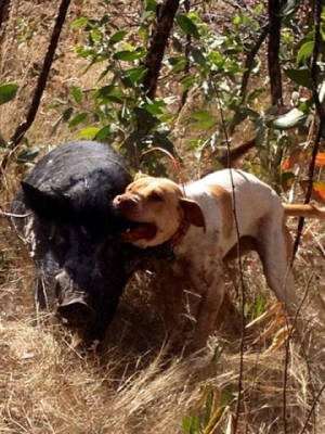Photo credit: http://www.greenlifestylemag.com.au/features/20167/battle-pig-vs-dog
