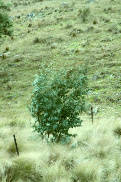 Black Sally (eucalyptus stellulata)