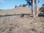 cow_calf1